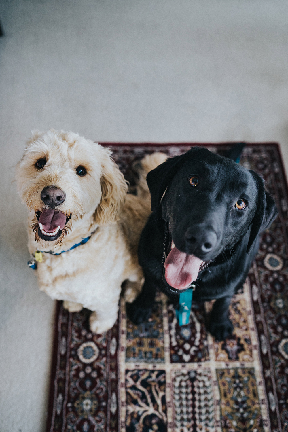 two dogs in maroon area rug