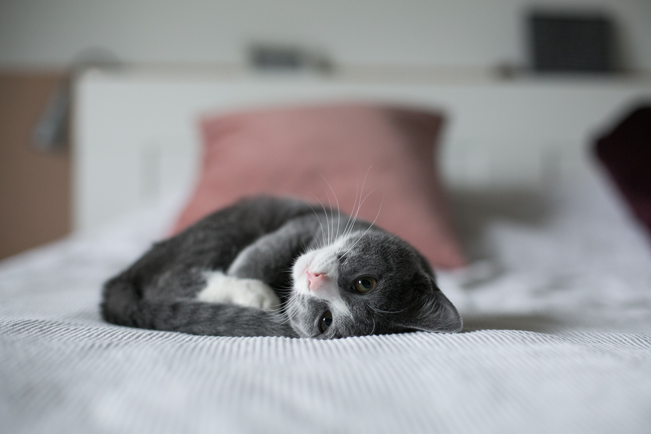 picture of gray and white cat curled up on a white bed