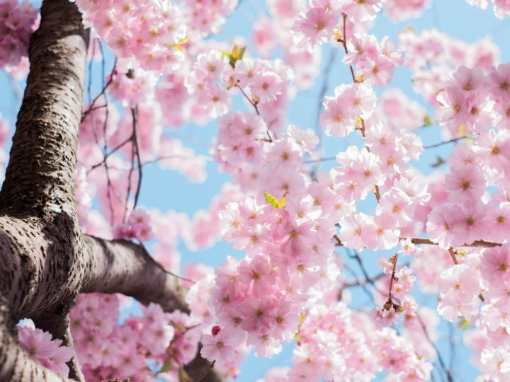 spring fundraiser cover photo of cherry blossom tree